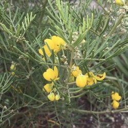 Medium shrub