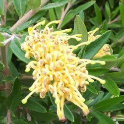 Medium shrub 2-3m