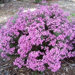 Small shrub up to 2m