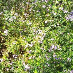 Large shrub